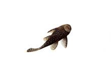 Aquarium Fish Bushymouth Catfi...