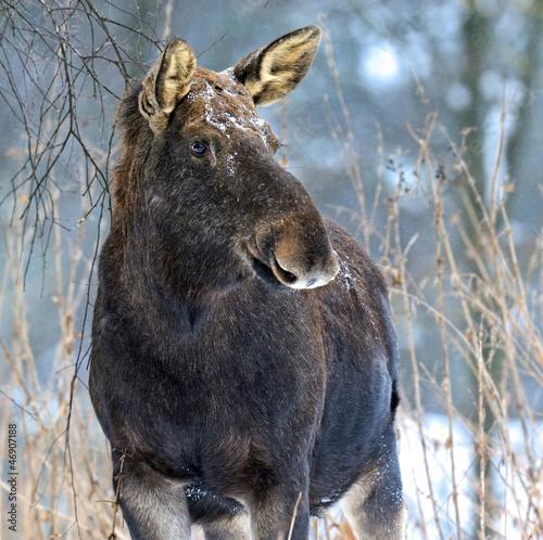 Portrait Elk