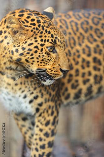 Keuken foto achterwand Panter Leopard