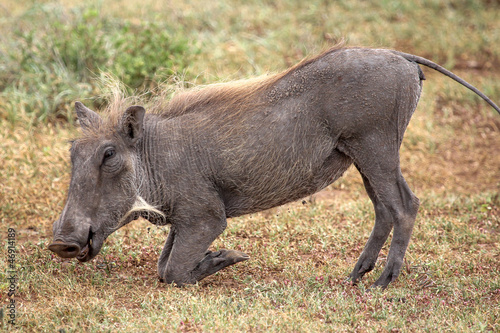 Photo  Warthog