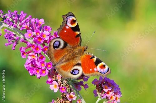 letni-liliowy-z-pawim-motylkiem-02