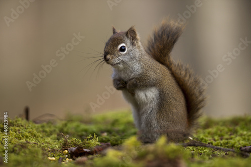 Alert Red Squirrel Poster
