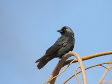 Jackdaw (Corvus Monedula) Sits On A Branch Of Willow.
