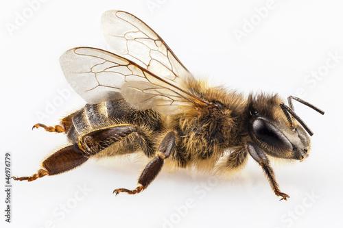 Photo Bee species apis mellifera common name Western honey bee