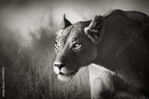 Staande foto Leeuw Lioness stalking