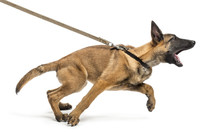 Belgian Shepherd Leashed And A...