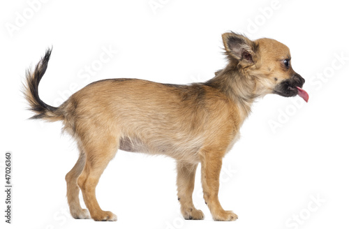 Valokuvatapetti Side view of Chihuahua puppy, 4 months old, standing