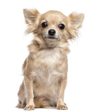 Chihuahua Sitting And Looking ...