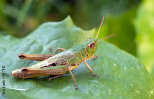 Canvas-taulu the grasshopper on leaf