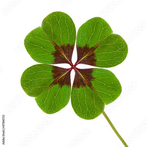 Photographie  Trèfle à quatre feuilles