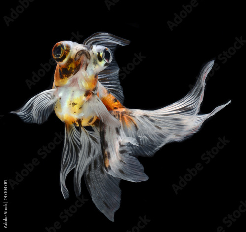 Tablou Canvas goldfish isolated on black background
