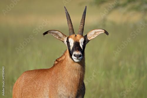 Foto op Aluminium Antilope Roan antelope (Hippotragus equinus)