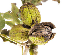 Pecans On A Tree Branch With Leaves