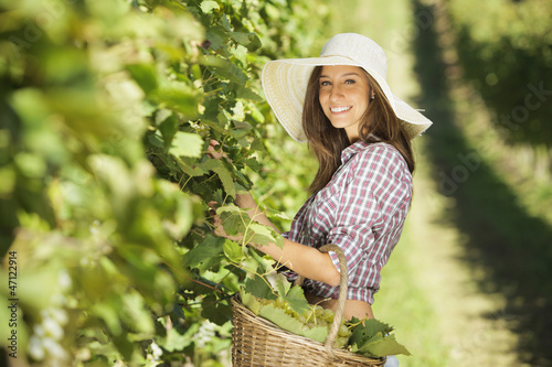 Fotografía  Harvesting the grape