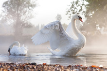Mute Swan Stretching On A Mist...