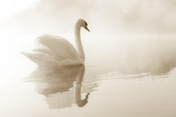 Fototapeta na wymiar Mute swan Cygnus olor gliding across a mist covered lake at dawn