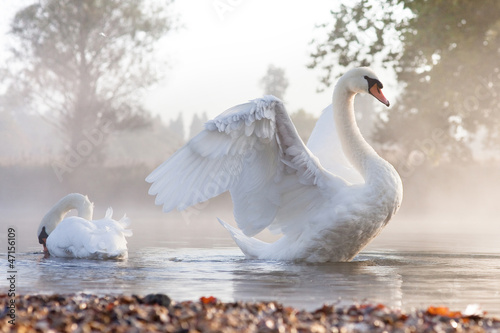Mute swan stretching on a mist covered lake at dawn