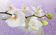 white beautiful orchid with drops on purple background
