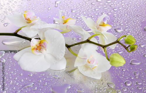 white beautiful orchid with drops on purple background - 47186127