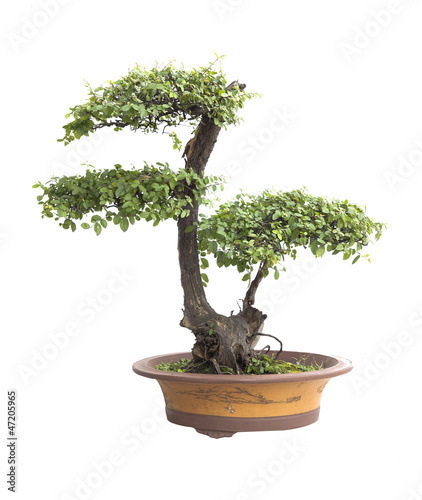 Poster Bonsai Chinese gardening, elm on a white background