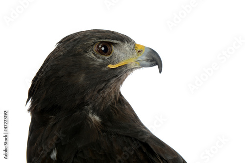 Photo  Portrait of falcon