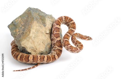 Fotografía  Lyre Snake Curls Around a Piece