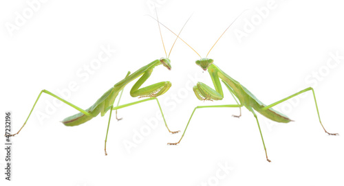 Fotografie, Obraz  Praying mantis pair preparing to duel
