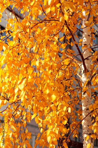Spoed Foto op Canvas Berkbosje Golden leaves