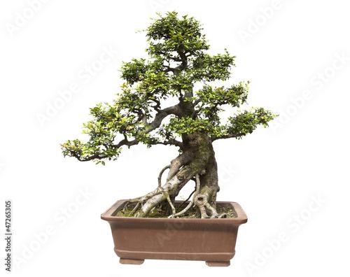 Recess Fitting Bonsai Elm bonsai white background
