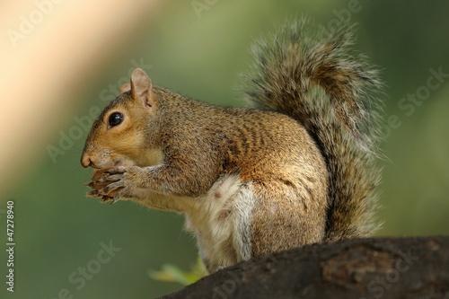 Foto op Canvas Eekhoorn scoiattolo