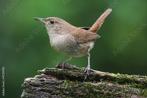 Ingelijste posters Vogel House Wren On A Stump