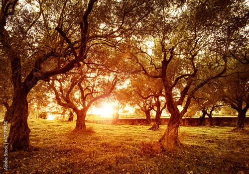 Foto op Canvas Olijfboom Olive trees garden