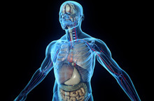 3D Human Body With Internal Organs