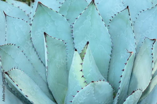 Plissee mit Motiv - Sharp pointed agave plant leaves bunched together. (von Curioso Photography)