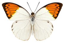 Butterfly Species Hebomoia Gla...