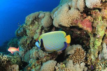 Naklejka na ściany i meble Emperor Angelfish on coral reef