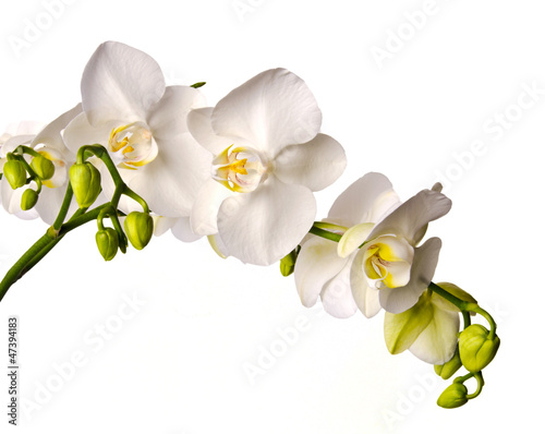 Montage in der Fensternische Orchideen White orchid isolated on white background / Phalaenopsis