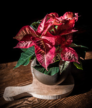 "Poinsettia -""Christmas Star"" Plant"