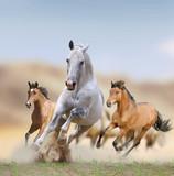 Fototapeta Konie - wild horses