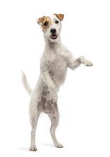 Parson Russell Terrier Standin...
