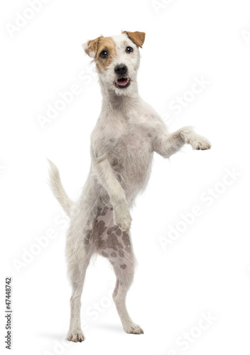 Photo Parson Russell Terrier standing on hind legs