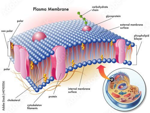 Photo membrana plasmatica