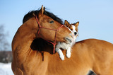 Fototapeta Konie - Red horse and dog are friends