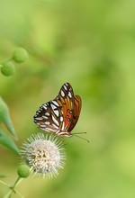 Gulf Fritillary Butterfly Feed...