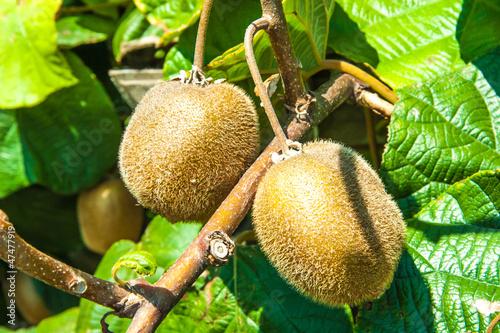 Fotografia, Obraz  Fresh kiwi fruit