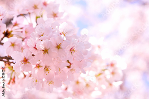 Tuinposter Kersenbloesem 桜
