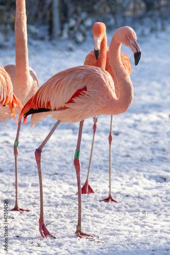 Foto op Aluminium Flamingo Flamingo in the snow