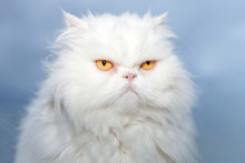 White Persian Cat Isolated On Blue Sky Background.