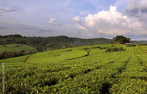 Fotobehang Rijstvelden Uganda Tea Plantation