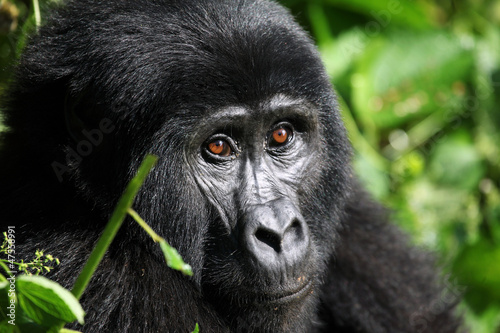 Photo  Mountain Gorilla - Bwindi Uganda